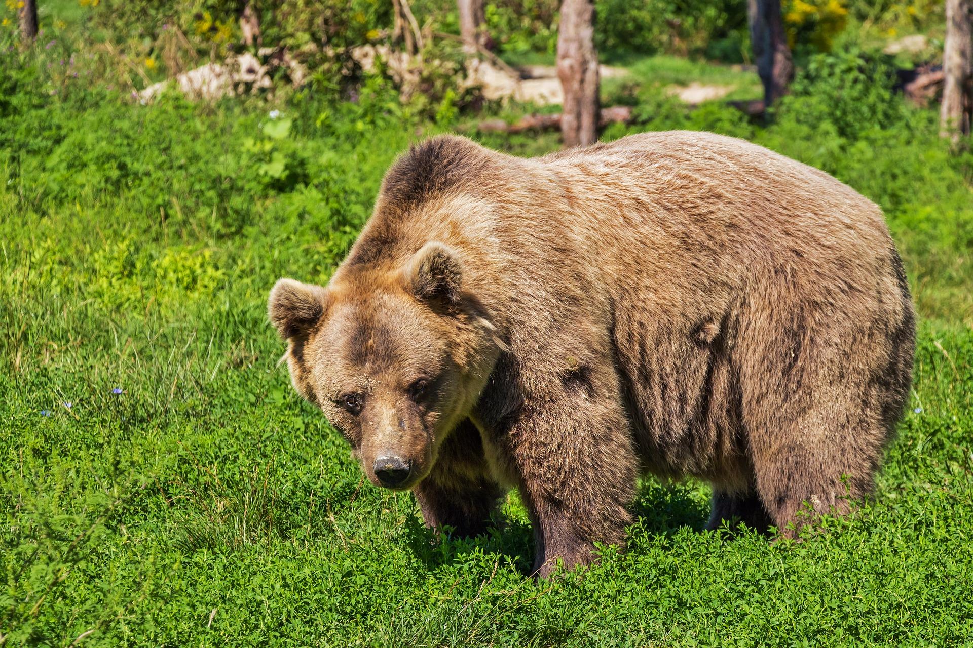 Björnar – som egentligen är fridlysta – dödas i skogarna nu – licensjakten som även är en trofejakt har startat! – Jaktkritikerna har överklagat!