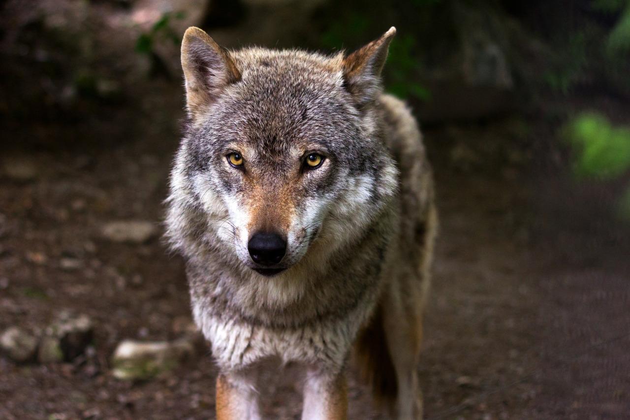 Varför jagas de vilda djuren?