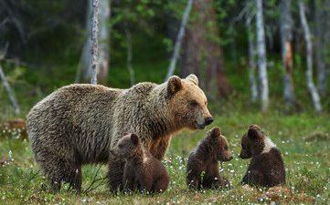Många skyddsjakter på björn just nu!