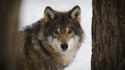Licensjakten på varg – ett fruktansvärt djurplågeri!