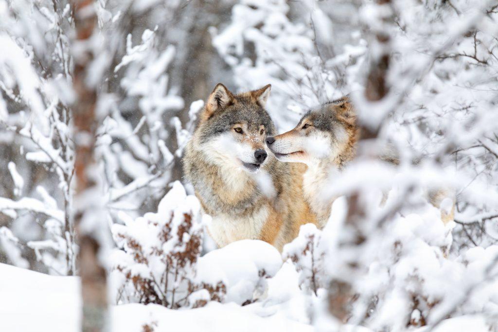 Vargar i vinterlandskap