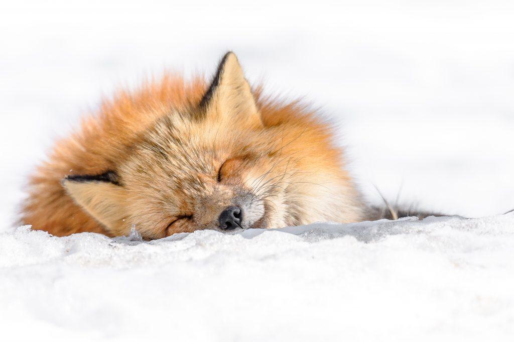 Räv, sovande i snö
