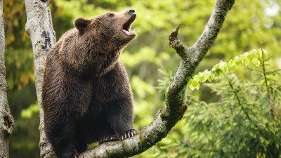 Brunbjörn i träd