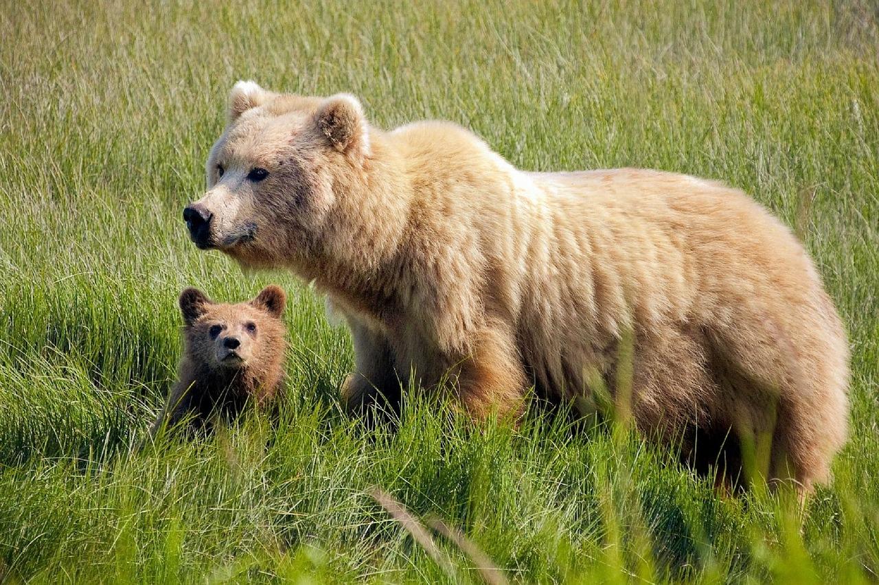 Närgångna björnar