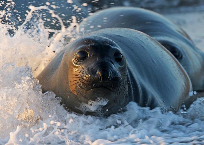 Fler sälar i Östersjön hotar inte de största fiskbestånden
