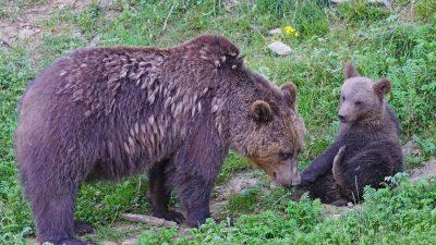 Licensjakt på björn
