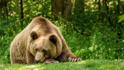 Blychocken i våra svenska  björnar!