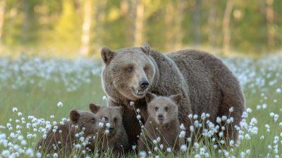Jaktkritikerna överklagar licensjakt björn 2021