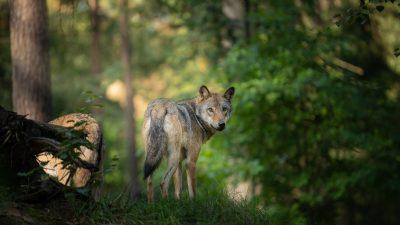 Vargen hårt jagad – Jaktkritikerna överklagar
