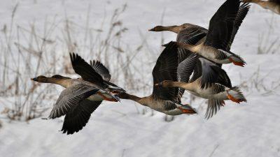 Sädgäss, flygande flock, vinter